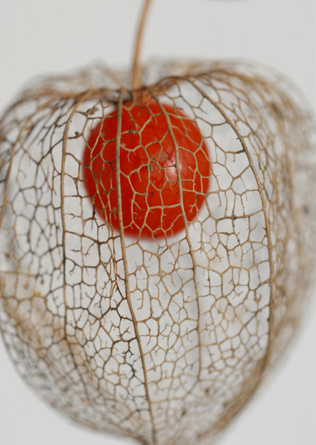 Physalis peruviana bio anti cancer antioxydant physalis - Fruit cage d amour ...