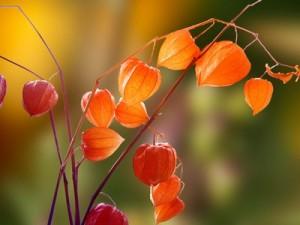 Physalis bio antioxydant naturel puissant