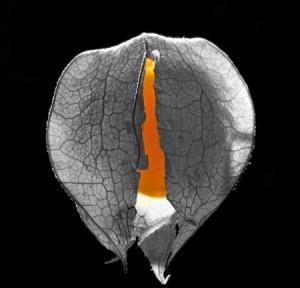 Physalis peruviana bio COQUERET DU PEROU